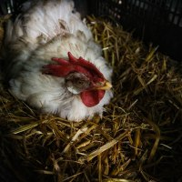 A Fowl Society: On Human Behaviour in Chickens (and Vice-Versa)