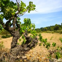 The Love and Labour of Wine in the Penedés